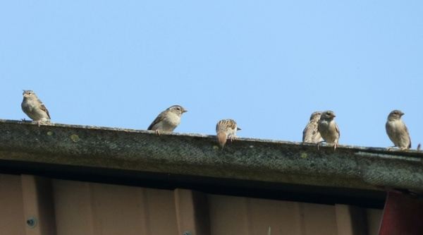 sparrows resting on top of old gutter section